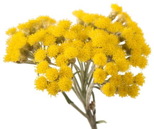 Helichrysum plant.