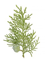 cypress sprig.