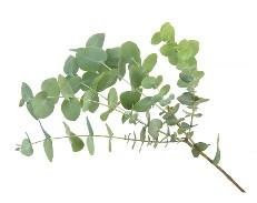 Sprig of eucalyptus tree