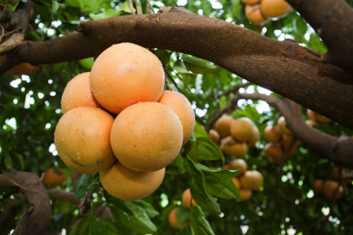 Grapefruit growing in a cluster on a tree.