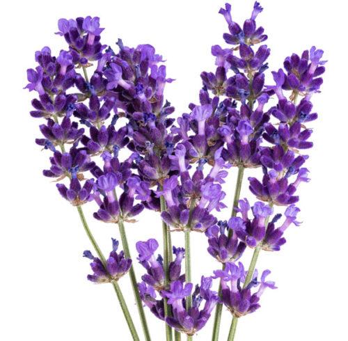 lavendar plant.